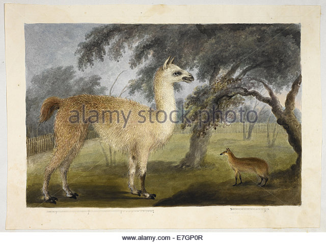 a-llama-and-its-young-in-a-park-presumably-barrackpore-hastings-albums-e7gp0r