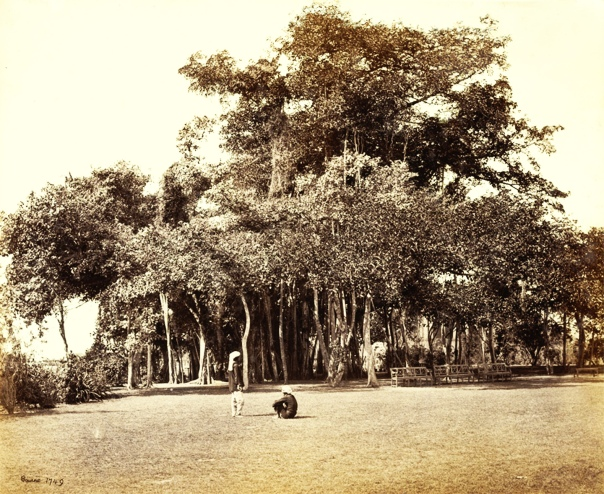 banian-tree-in-barrackpore-park-_bourne1865ed1