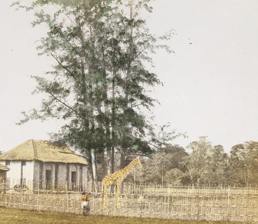 barrackpore-park_giraff_fiebie1851
