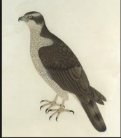 An Eastern Goshawk, by Bhawani Das, from the collection of Lady Impey Company School, Calcutta, circa 1780