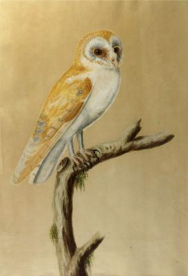 barn owl, possibly Company School, India, late 19th century