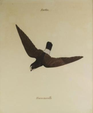 Company School painting of a Haunaville, India, 19th century, watercolour on paper, depicted in flight, inscribed ''Martin'' above and ''Hauwaville''