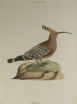 Company School painting of a Hoodhood (19th Century) By Indian School, 19th Century; watercolour on paper;