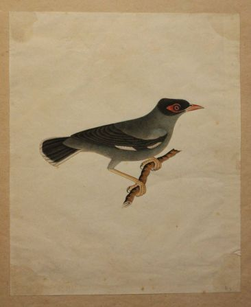 Company School Painting of a Mynah Bird, Beng