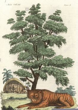 Indian tiger underneath a tamarind tree. Handcoloured copperplate drawn and engraved by Andrea Bernieri after Francois Solvyns from Giulio Ferrario's Ancient and Modern Costumes of all the Peoples of the World, Florence, Italy, 1844.