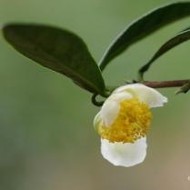 Camellia sinensis Assamica (India)