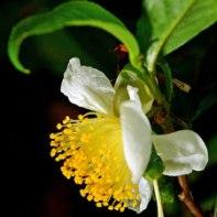 Camellia sinensis (China)