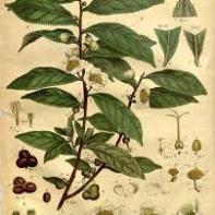 Camellia sinensis foliage